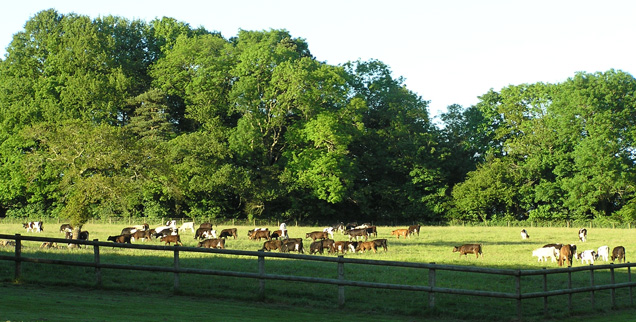 http://www.rousdonestate.com/uploads/images/mainphotos/cows.jpg
